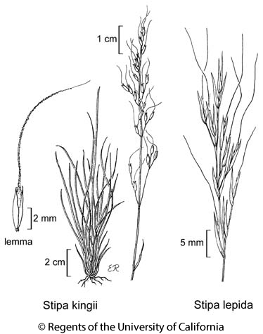 botanical illustration including Stipa lepida