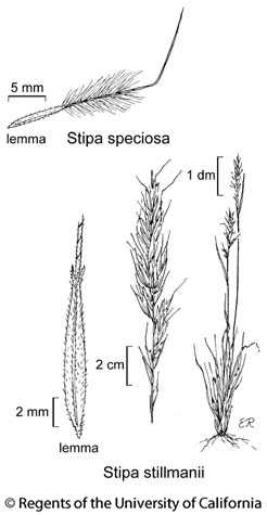 botanical illustration including Stipa speciosa