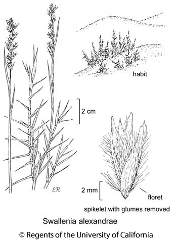 botanical illustration including Swallenia alexandrae