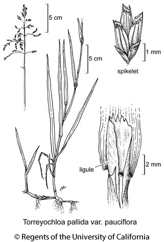 botanical illustration including Torreyochloa pallida var. pauciflora