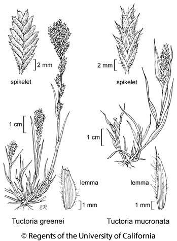 botanical illustration including Tuctoria greenei