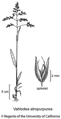 botanical illustration including Vahlodea atropurpurea