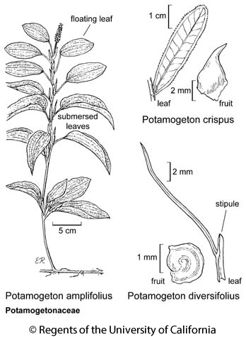 botanical illustration including Potamogeton amplifolius