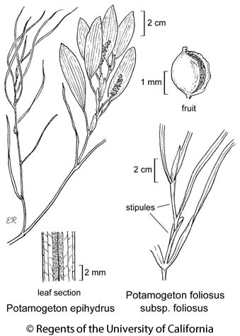 botanical illustration including Potamogeton epihydrus