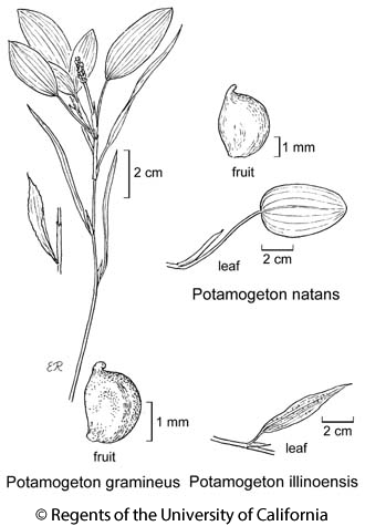 botanical illustration including Potamogeton natans
