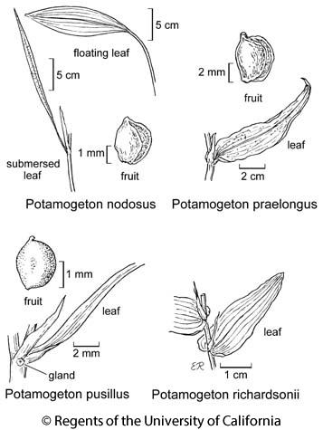 botanical illustration including Potamogeton praelongus