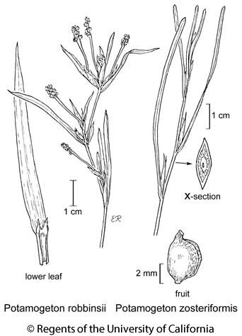 botanical illustration including Potamogeton robbinsii