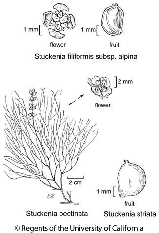 botanical illustration including Stuckenia pectinata