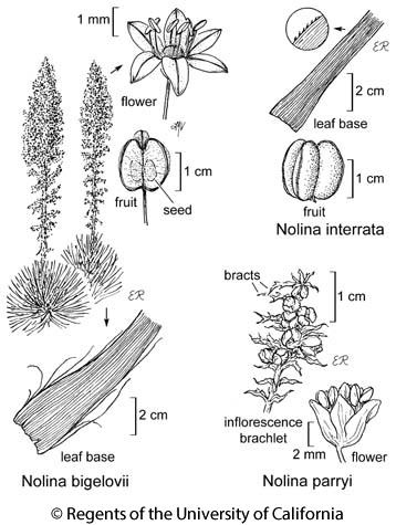 botanical illustration including Nolina bigelovii