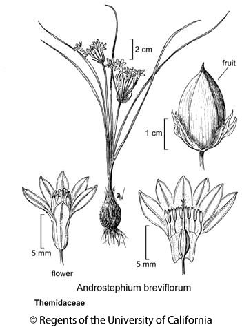 botanical illustration including Androstephium breviflorum