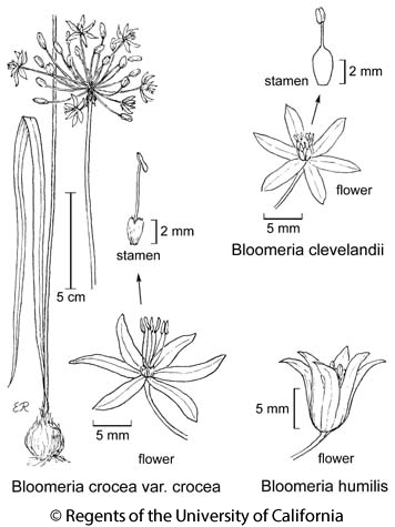 botanical illustration including Bloomeria humilis