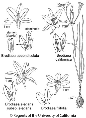 botanical illustration including Brodiaea elegans subsp. elegans