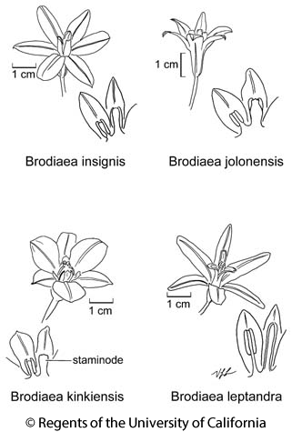 botanical illustration including Brodiaea leptandra