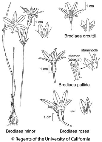 botanical illustration including Brodiaea orcuttii