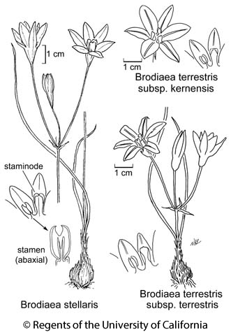 botanical illustration including Brodiaea stellaris