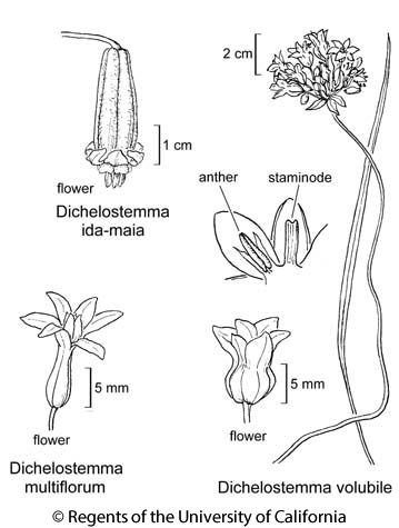 botanical illustration including Dichelostemma multiflorum