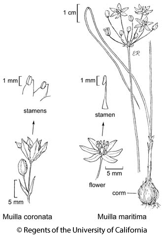 botanical illustration including Muilla coronata