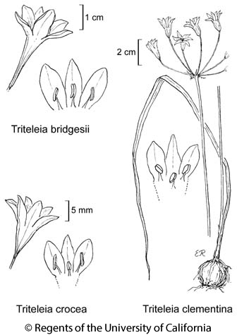 botanical illustration including Triteleia crocea
