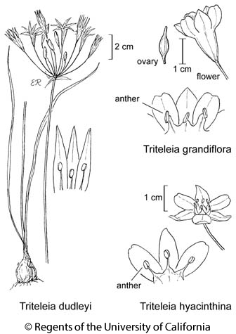 botanical illustration including Triteleia dudleyi
