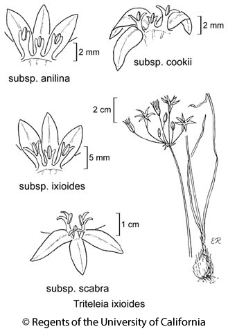 botanical illustration including Triteleia ixioides subsp. cookii