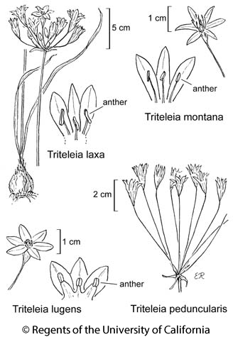 botanical illustration including Triteleia laxa