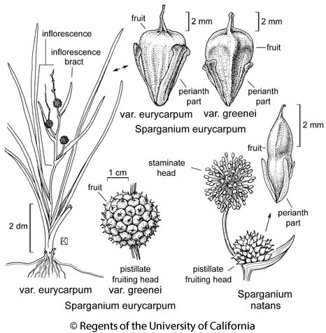 botanical illustration including Sparganium natans