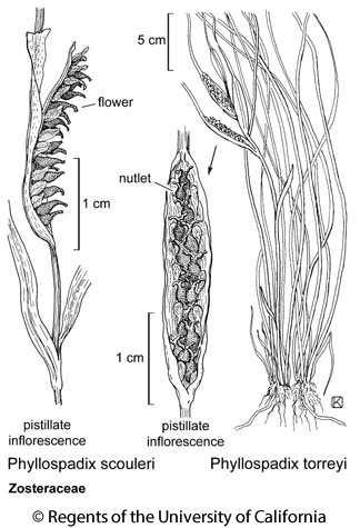 botanical illustration including Phyllospadix torreyi