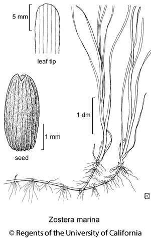 botanical illustration including Zostera marina