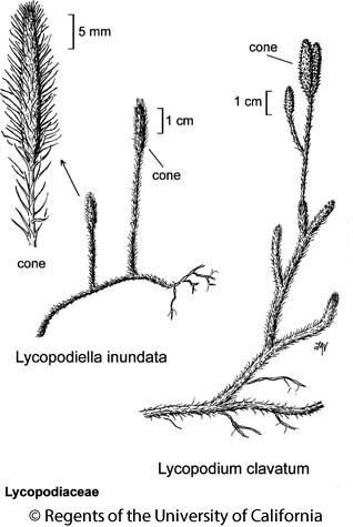 botanical illustration including Lycopodiella inundata