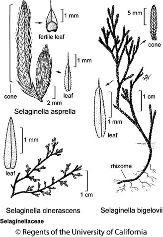 botanical illustration including Selaginella asprella