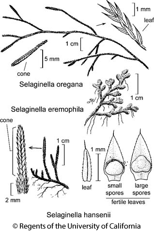 botanical illustration including Selaginella eremophila