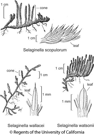 botanical illustration including Selaginella watsonii