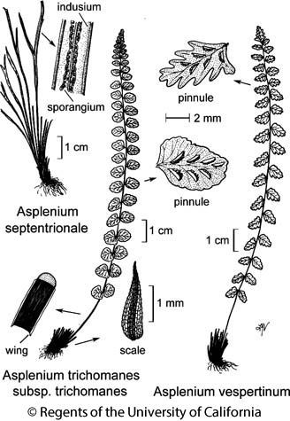 botanical illustration including Asplenium vespertinum