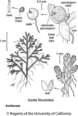 botanical illustration including Azolla filiculoides