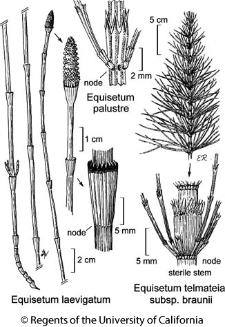 botanical illustration including Equisetum laevigatum