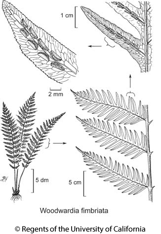botanical illustration including Woodwardia fimbriata