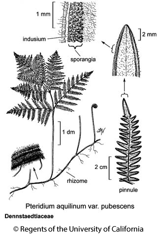 botanical illustration including Pteridium aquilinum var. pubescens