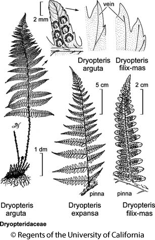 botanical illustration including Dryopteris arguta