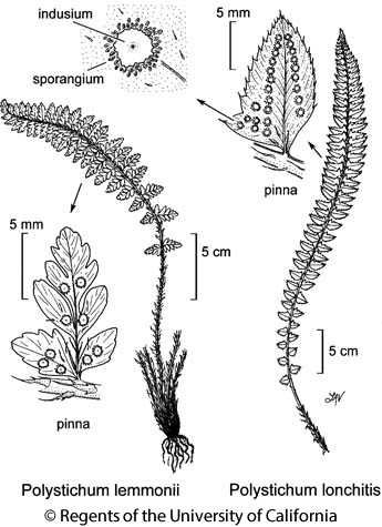 botanical illustration including Polystichum lemmonii