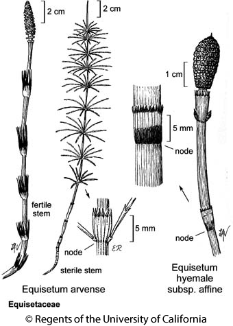 botanical illustration including Equisetum arvense