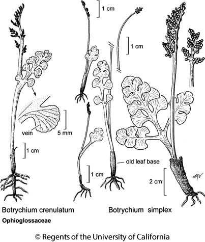 botanical illustration including Botrychium simplex