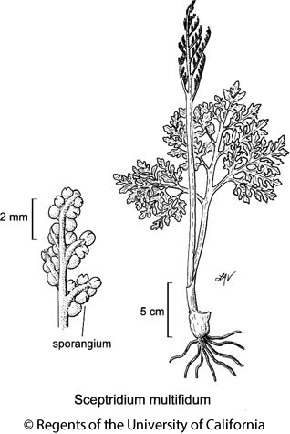 botanical illustration including Sceptridium multifidum