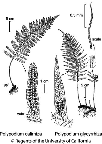 botanical illustration including Polypodium glycyrrhiza