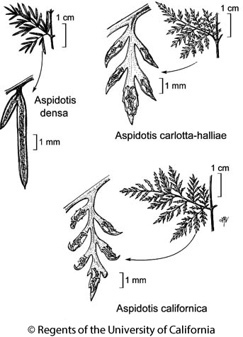 botanical illustration including Aspidotis carlotta-halliae