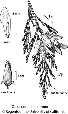 botanical illustration including Calocedrus decurrens