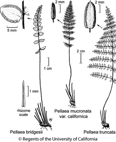 botanical illustration including Pellaea mucronata var. californica