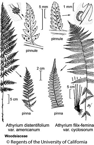 botanical illustration including Athyrium filix-femina var. cyclosorum