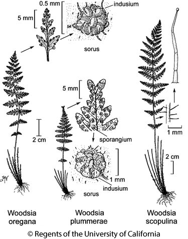 botanical illustration including Woodsia scopulina