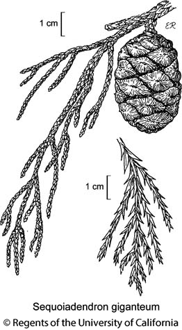 botanical illustration including Sequoiadendron giganteum