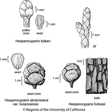 botanical illustration including Hesperocyparis abramsiana var. butanoensis